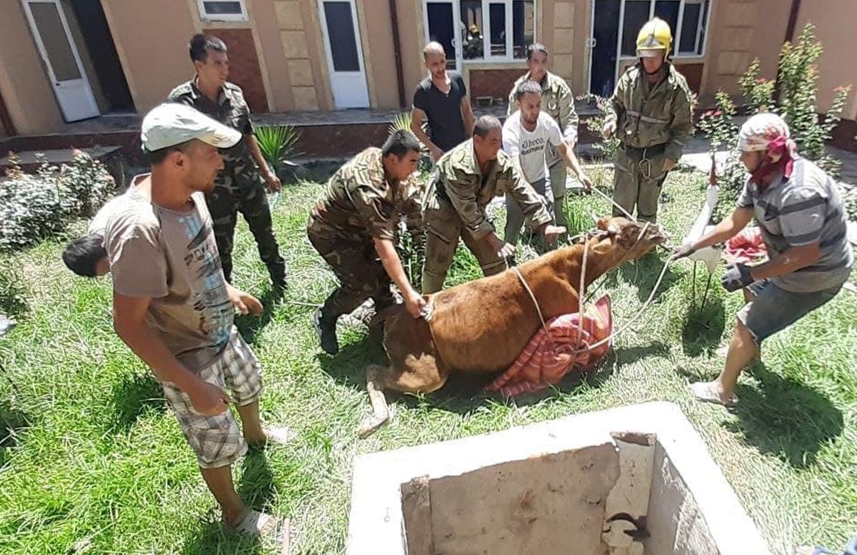 В Кашкадарье корова провалилась в 5-метровый колодец