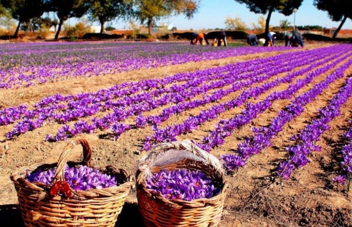 Узбекистан экспортирует в Европу шафран на 15 миллионов евро