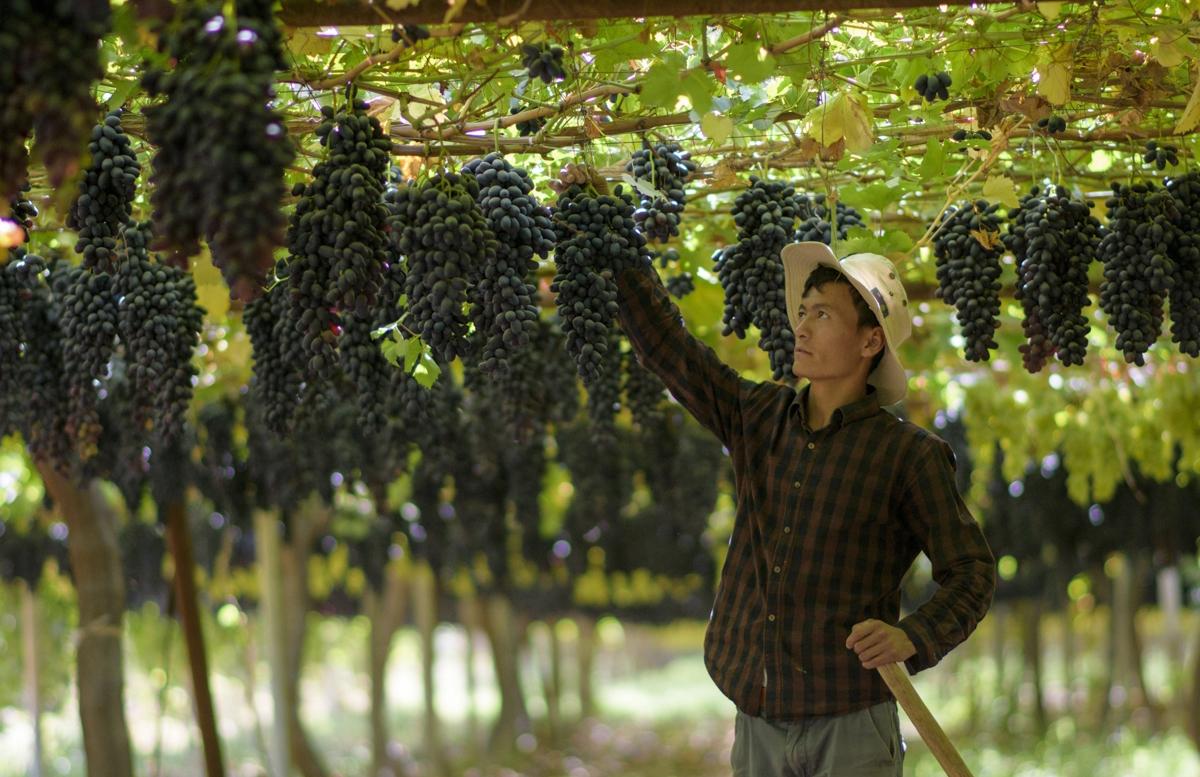 Каракалпакстан отныне будет специализироваться на виноградарстве