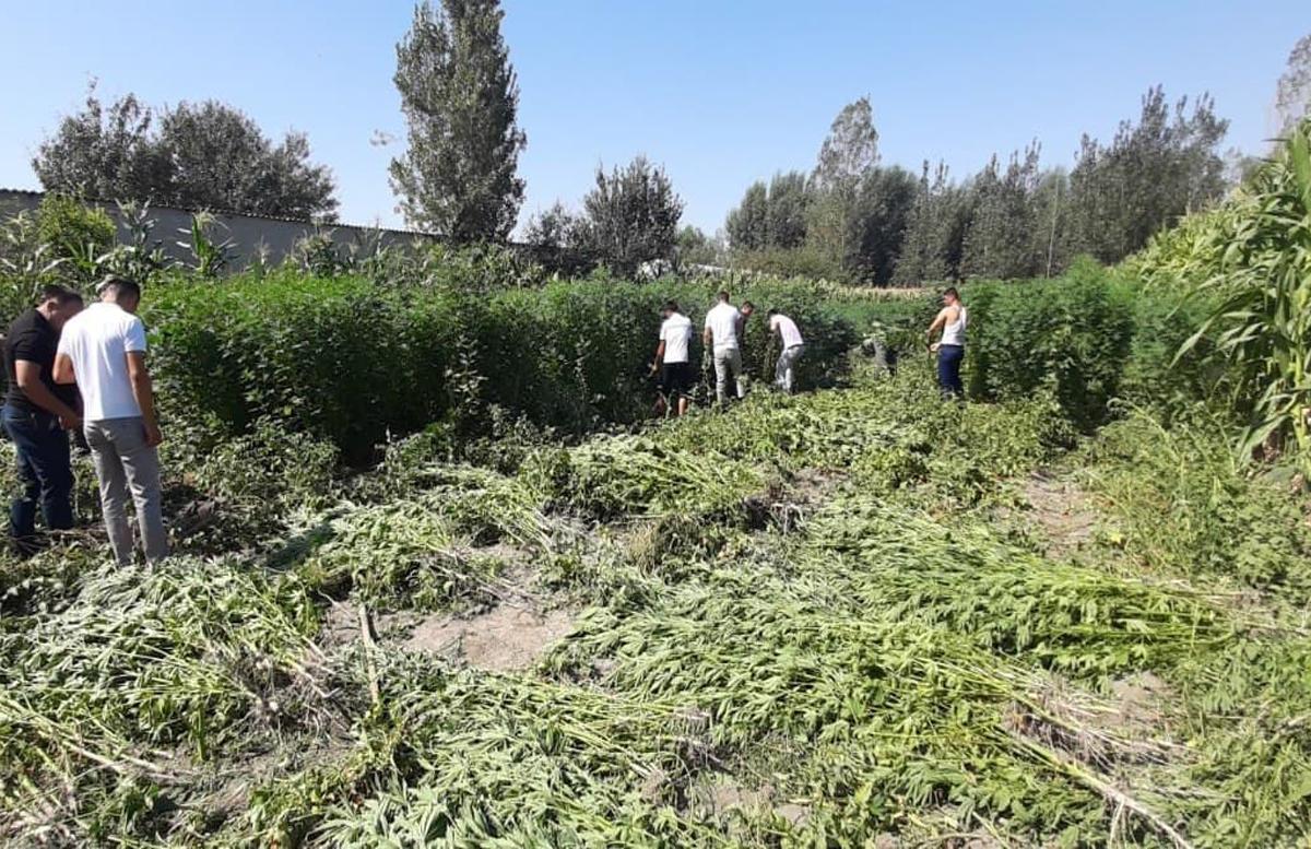 В Самарканде мужчина вырастил свыше двух тысяч кустов конопли