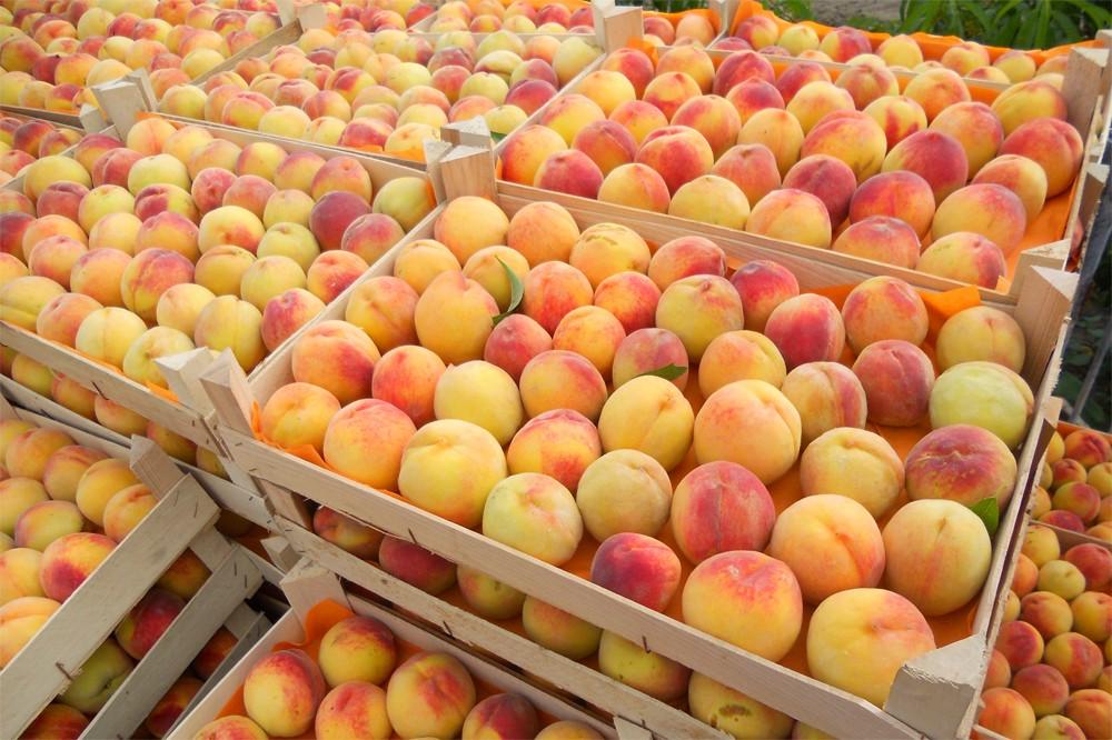 В какие страны уезжают узбекские персики?