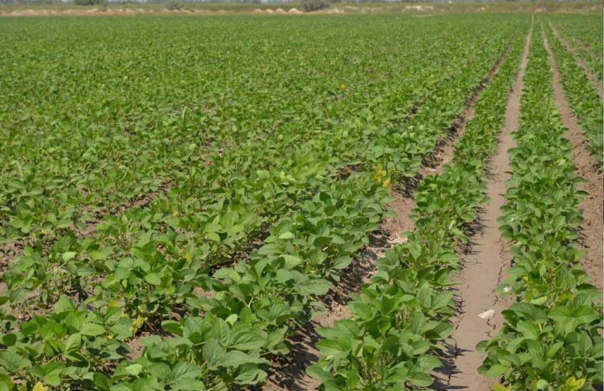 Фермеры из Ферганы добились хороших урожаев сои