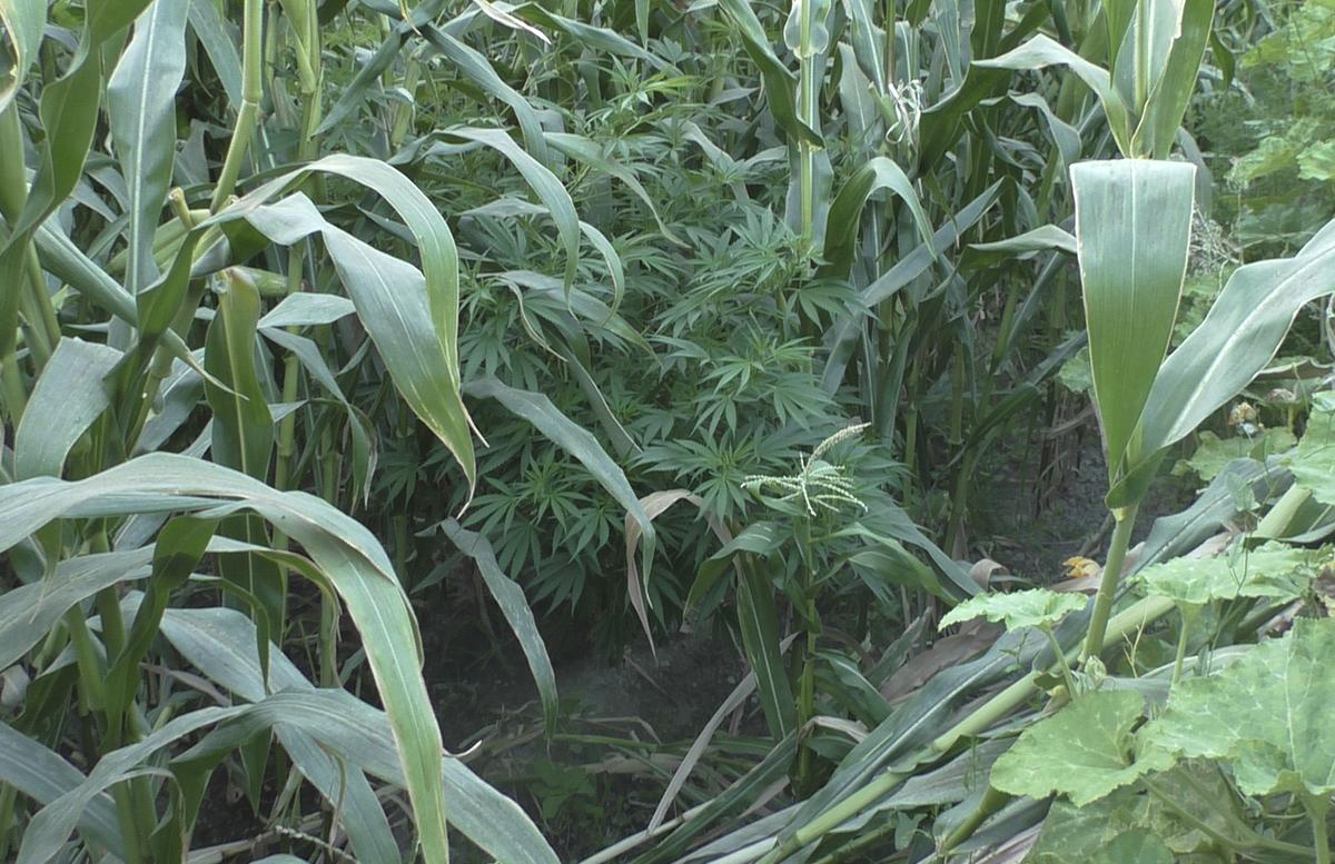 В Фергане мужчина технично выращивал кусты каннабиса