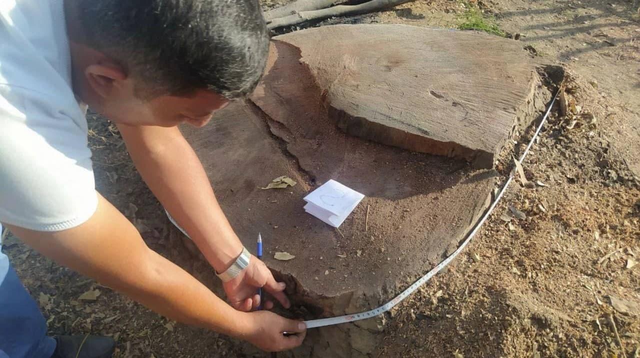 В Ташобласти браконьеры срубили две многолетние чинары