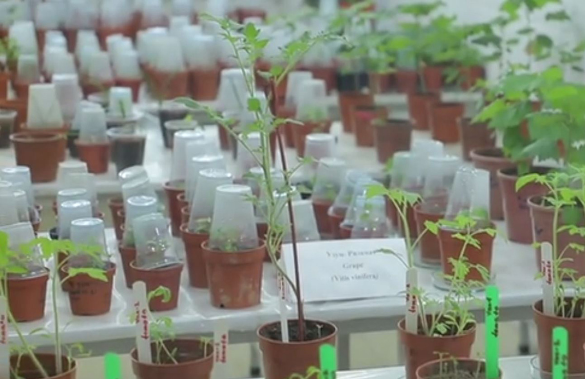 Ученые Узбекистана разработали «вакцинированные помидоры» от COVID-19