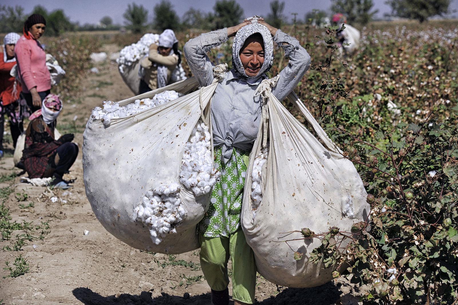 В Узбекистане повысили плату за ручной сбор хлопка