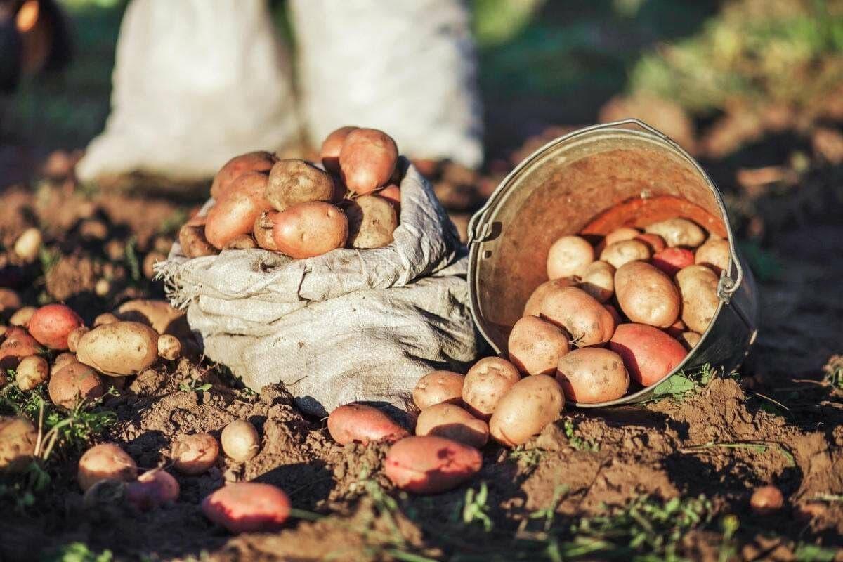 Выяснилось, в каких странах Узбекистан закупает картофель