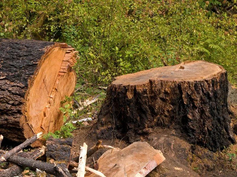 В Сурхандарье на территории «Узбекипаксаноат» незаконно спилили более 160 деревьев