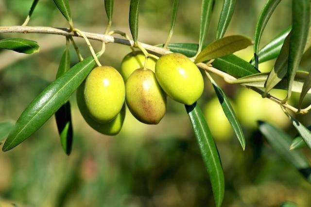 Узбекистан вступил в Международный совет по оливкам