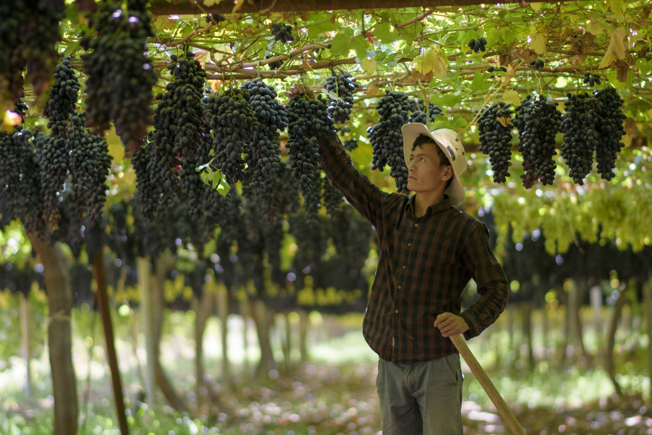 В Узбекистане с начала года экспортировали виноград почти на 65 миллионов долларов