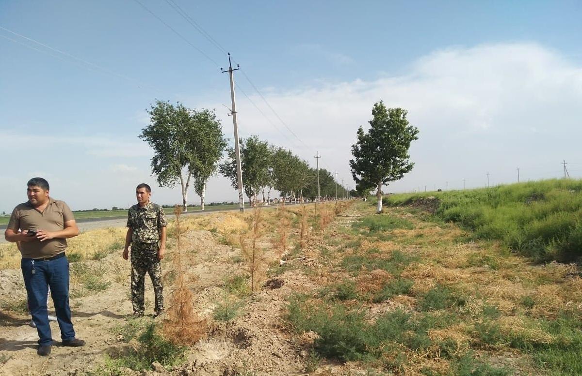 В Сырдарьинской области разрешили срубить более 800 деревьев